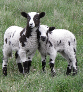 Jacob Sheep Breeders Association